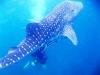 Koh Lipe marine life whale shark